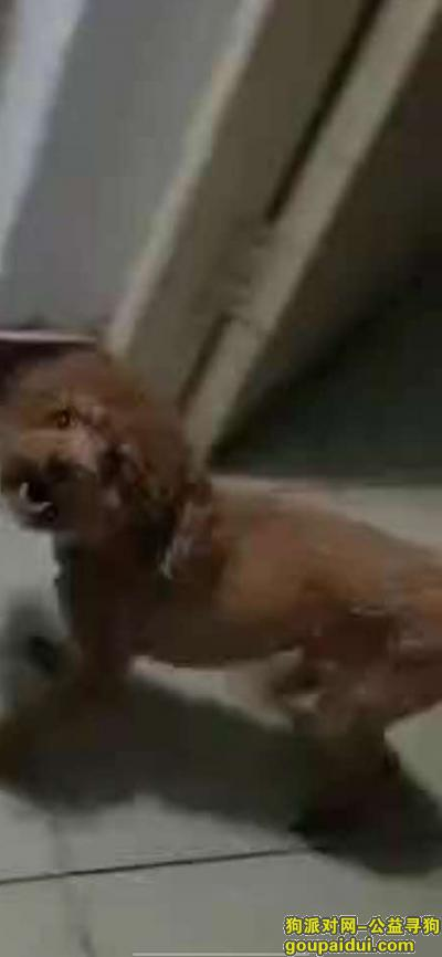 【郑州找狗】,郑州中原区陇海路段急切寻狗,它是一只非常可爱的宠物狗狗,希望它早日回家,不要变成流浪狗。