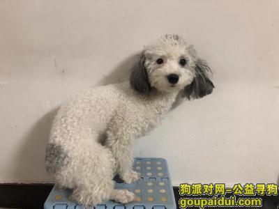 【贵阳找狗】,寻狗启事,两岁贵宾狗女狗,它是一只非常可爱的宠物狗狗,希望它早日回家,不要变成流浪狗。