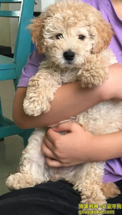 在桐梓县体育馆附近丢失泰迪狗一只,它是一只非常可爱的宠物狗狗,希望它早日回家,不要变成流浪狗。