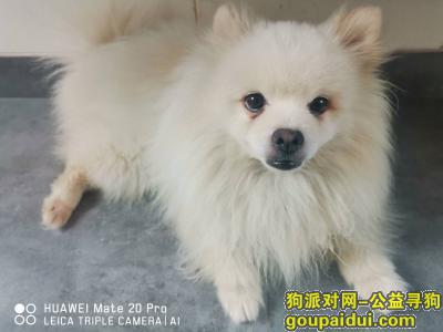 捡到狗,高新区捡到成年博美,白色,它是一只非常可爱的宠物狗狗,希望它早日回家,不要变成流浪狗。