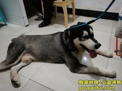 重庆寻狗启示,阿拉斯弟弟加找主人,请主人尽快领回,它是一只非常可爱的宠物狗狗,希望它早日回家,不要变成流浪狗。
