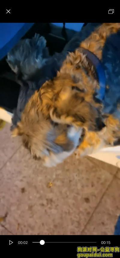 捡到狗,南京市华西路 7月31日捡到雪拉瑞一条,蓝色脖子圈。捡到时候气喘应该跑了很久了。,它是一只非常可爱的宠物狗狗,希望它早日回家,不要变成流浪狗。