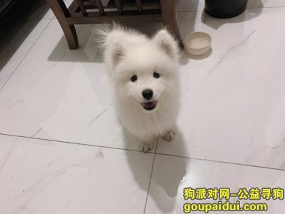 【郑州找狗】,名字叫可乐 全身白重金酬谢三个多月左右,它是一只非常可爱的宠物狗狗,希望它早日回家,不要变成流浪狗。