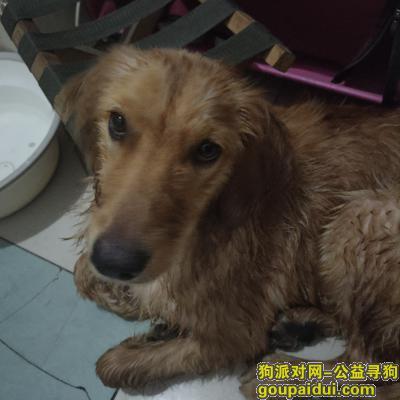 捡到狗,青园街亚太酒店附近捡到金毛母犬一只,它是一只非常可爱的宠物狗狗,希望它早日回家,不要变成流浪狗。