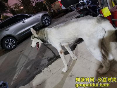 福州找狗,福州泰禾广场路二化新村走失母哈士奇,它是一只非常可爱的宠物狗狗,希望它早日回家,不要变成流浪狗。