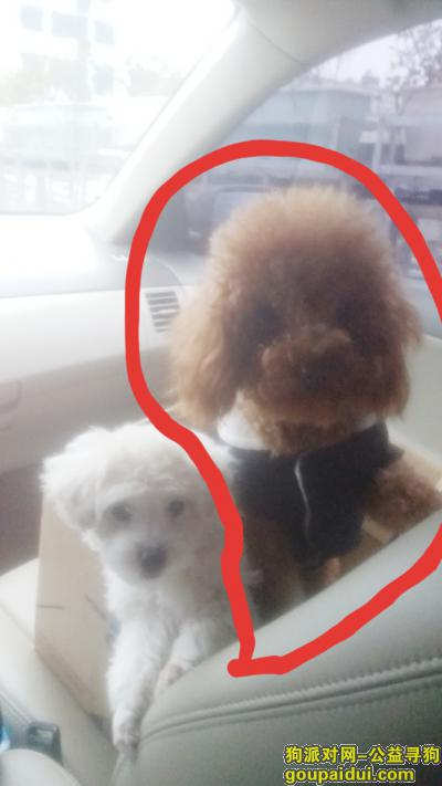 找狗网,8月2日在东湖区靠近紫金城附近丢失一条小泰迪  2岁,它是一只非常可爱的狗狗,希望狗狗早日回家,不要变成流浪狗。