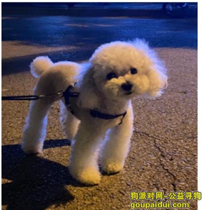 寻狗网,上海宝山月浦实验小学寻找白色贵宾,它是一只非常可爱的狗狗,希望狗狗早日回家,不要变成流浪狗。
