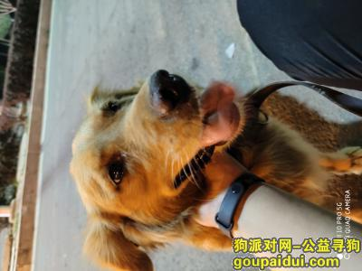 找狗网,寻狗启示:我家金毛犬  石榴  今天在宋家庄附近走丢。有看见的帮忙联系我13753504333。必有重谢!!!,它是一只非常可爱的狗狗,希望狗狗早日回家,不要变成流浪狗。