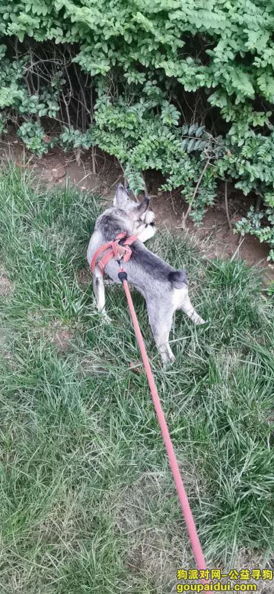 寻狗网,寻找灰色雪纳瑞一只,走失时戴砖红色背带,它是一只非常可爱的狗狗,希望狗狗早日回家,不要变成流浪狗。