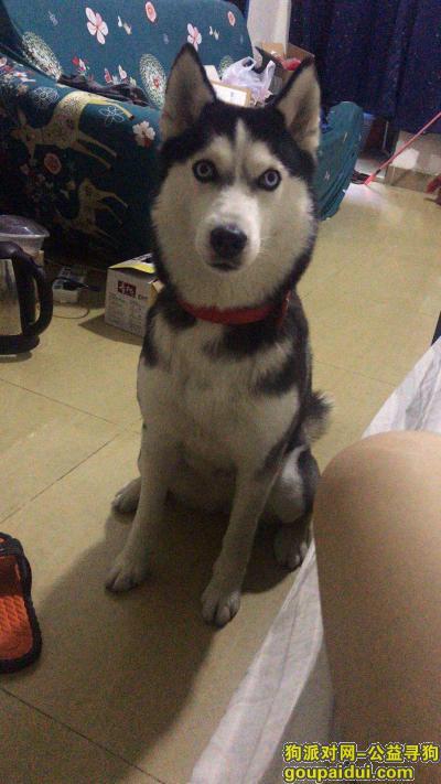 东莞寻狗,常平汇丽华酒店丢失哈士奇一条,它是一只非常可爱的宠物狗狗,希望它早日回家,不要变成流浪狗。