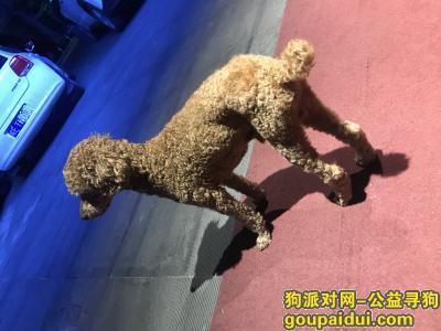 杭州寻狗主人,萧山区商业城捡到一只泰迪(贵宾)体型偏大,大个子那种,公的,身上毛发修剪过,它是一只非常可爱的宠物狗狗,希望它早日回家,不要变成流浪狗。