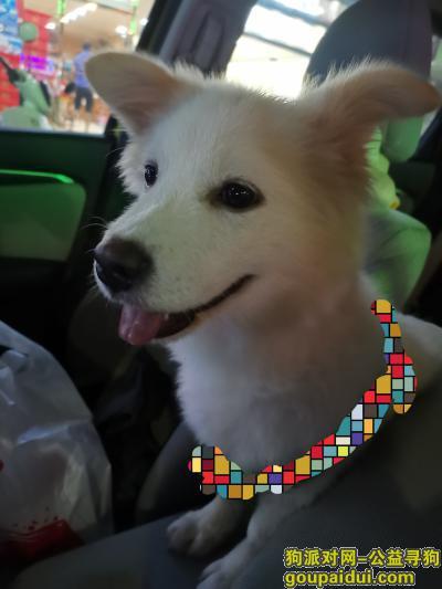 【深圳捡到狗】,西涌,公路,白色,公狗,它是一只非常可爱的宠物狗狗,希望它早日回家,不要变成流浪狗。