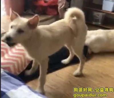 长沙丢狗,长沙雨花区寻找黄白色6个月大小母狗,它是一只非常可爱的宠物狗狗,希望它早日回家,不要变成流浪狗。