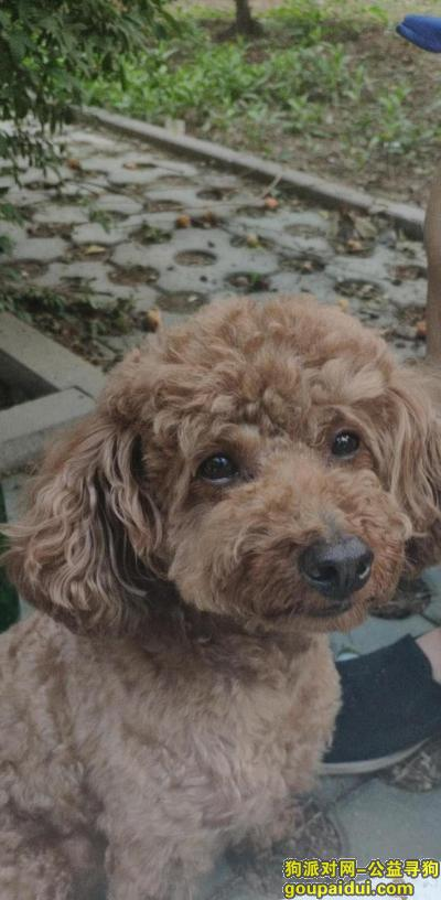 【北京找狗】,北京海淀门头新村北二区,棕色中型泰迪,7月31日走失,王先生,18601188885,它是一只非常可爱的宠物狗狗,希望它早日回家,不要变成流浪狗。
