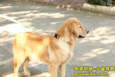 深圳寻狗启示,深圳宝安区大宝路风采轩门口捡到金毛公,约6岁,很听话。主人联系QQ1907094809,它是一只非常可爱的宠物狗狗,希望它早日回家,不要变成流浪狗。