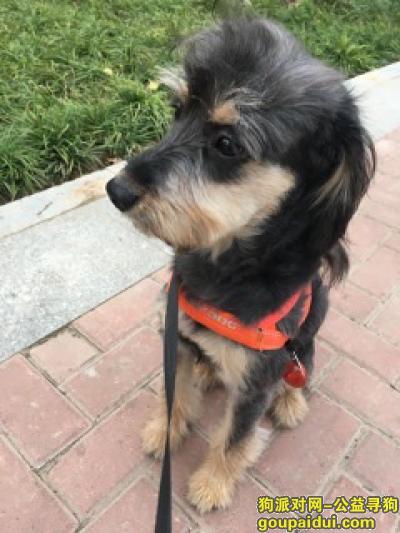 郑州寻狗启示,名字叫酱油,从小领养的串串,如有线索必有重谢,它是一只非常可爱的宠物狗狗,希望它早日回家,不要变成流浪狗。