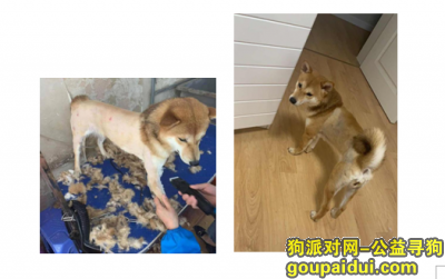 【天津找狗】,天津市河北区正兴里38号楼酬谢两千元寻找柴犬,它是一只非常可爱的宠物狗狗,希望它早日回家,不要变成流浪狗。