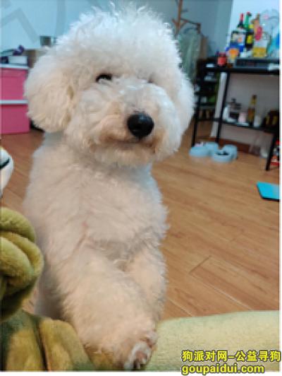 深圳找狗,我家的白色比熊犬走丢了,看到的麻烦联系 重酬!,它是一只非常可爱的宠物狗狗,希望它早日回家,不要变成流浪狗。