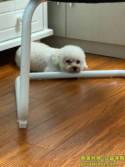 杭州丢狗,丢失一只白色茶杯泰迪,如能找到重金感谢。,它是一只非常可爱的宠物狗狗,希望它早日回家,不要变成流浪狗。