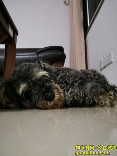 湘潭寻狗启示,看不出什么颜色的雪纳瑞寻主,它是一只非常可爱的宠物狗狗,希望它早日回家,不要变成流浪狗。