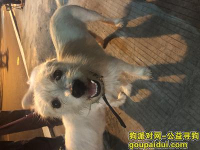 广州找狗,番禺市桥黄编村看到一只戴黑色项圈的白色小公狗,它是一只非常可爱的宠物狗狗,希望它早日回家,不要变成流浪狗。