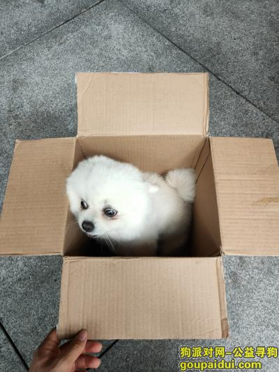 深圳寻狗启示,【深圳找狗】8月19 深圳南山捡到博美,它是一只非常可爱的宠物狗狗,希望它早日回家,不要变成流浪狗。