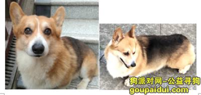 长沙寻狗,长沙天心区暮云街道芙蓉南路酬谢两千元寻找柯基,它是一只非常可爱的宠物狗狗,希望它早日回家,不要变成流浪狗。