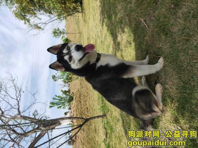 厦门寻狗,哈士奇,双眼蓝色,肚子上有花纹,走丢时脖子上有黑色项圈,它是一只非常可爱的宠物狗狗,希望它早日回家,不要变成流浪狗。