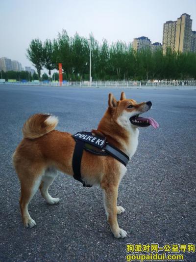 沈阳寻狗,重金寻狗:一岁半柴犬,它是一只非常可爱的宠物狗狗,希望它早日回家,不要变成流浪狗。