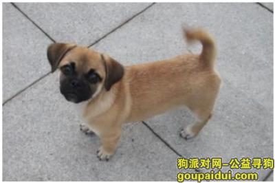 保山寻狗启示,保山隆阳寻黄色小型犬,它是一只非常可爱的宠物狗狗,希望它早日回家,不要变成流浪狗。