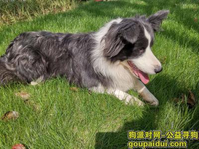 【宁波找狗】,边牧,2020年8月29日丢失于慈溪市三山中学附近,有捡到或者看到的朋友请联系我,13738802486、13732109966。重谢!,它是一只非常可爱的宠物狗狗,希望它早日回家,不要变成流浪狗。