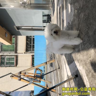 深圳找狗,寻爱犬花花,白色比熊女孩,重酬,它是一只非常可爱的宠物狗狗,希望它早日回家,不要变成流浪狗。