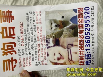 镇江寻狗启示,寻找萨摩耶,成年公犬,舌头有胎记,它是一只非常可爱的宠物狗狗,希望它早日回家,不要变成流浪狗。