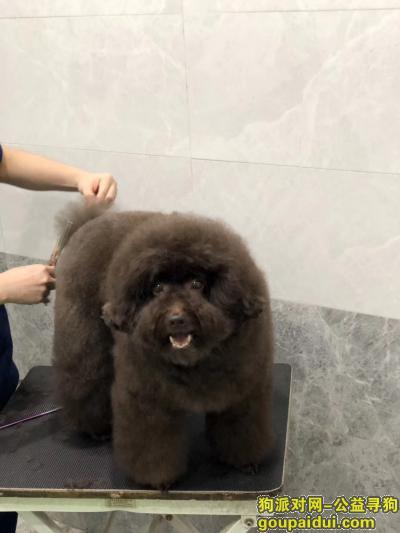 杭州寻狗,重金寻找巧克力色贵宾犬,它是一只非常可爱的宠物狗狗,希望它早日回家,不要变成流浪狗。