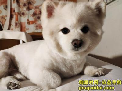 【北京找狗】,白色博美雄犬 顺义区建新北区附近 丢失于8月31日上午 找到者必有5000元重酬答谢!,它是一只非常可爱的宠物狗狗,希望它早日回家,不要变成流浪狗。