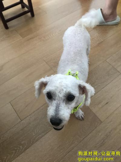 【上海捡到狗】,上海浦东三林捡到一岁白色母比熊,它是一只非常可爱的宠物狗狗,希望它早日回家,不要变成流浪狗。