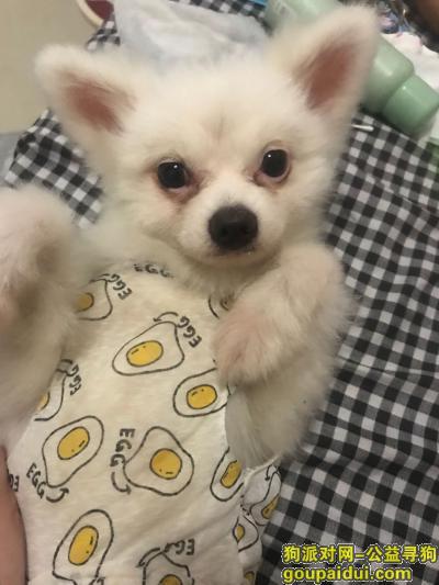 衡阳找狗,寻狗启示   白色博美,它是一只非常可爱的宠物狗狗,希望它早日回家,不要变成流浪狗。