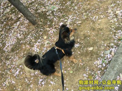 宣城找狗,宣城寻狗:名为哈哈的小土狗,它是一只非常可爱的宠物狗狗,希望它早日回家,不要变成流浪狗。
