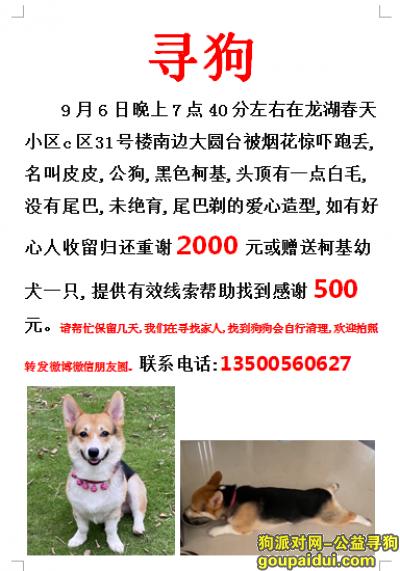 蚌埠找狗,蚌埠龙子湖区龙湖春天小区酬谢2000元寻找柯基犬,它是一只非常可爱的宠物狗狗,希望它早日回家,不要变成流浪狗。