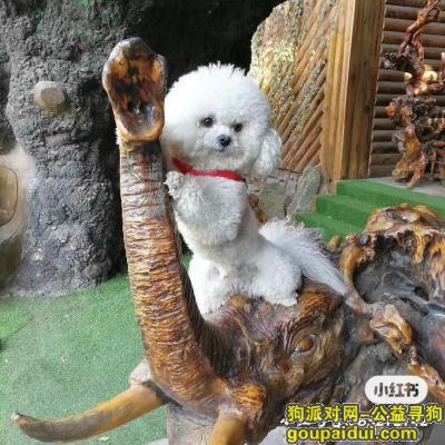 找比熊小公狗,于浑南区丢失,它是一只非常可爱的宠物狗狗,希望它早日回家,不要变成流浪狗。