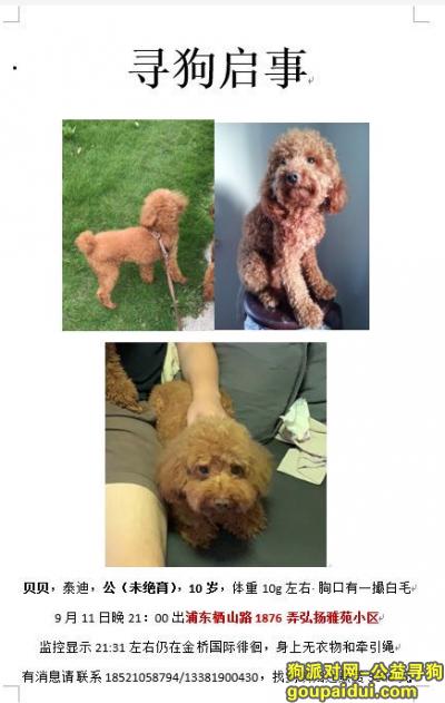 【上海找狗】,上海浦东新区栖山路1876弄酬谢3千元寻找泰迪,它是一只非常可爱的宠物狗狗,希望它早日回家,不要变成流浪狗。