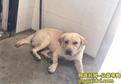 南充寻狗启示,南充9月11号被偷走一只拉布拉多,它是一只非常可爱的宠物狗狗,希望它早日回家,不要变成流浪狗。