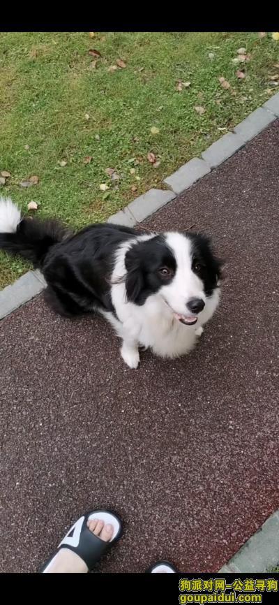 紧急求助 上海宝山寻狗 边牧,它是一只非常可爱的宠物狗狗,希望它早日回家,不要变成流浪狗。