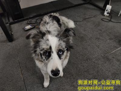 武汉寻狗启示,陨石边牧在万达环球国际中心走失,它是一只非常可爱的宠物狗狗,希望它早日回家,不要变成流浪狗。