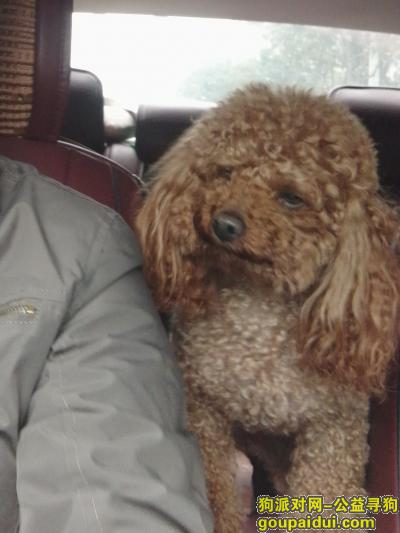 """广元找狗,寻找泰迪,雄性,名叫""""丁丁"""",它是一只非常可爱的宠物狗狗,希望它早日回家,不要变成流浪狗。"""