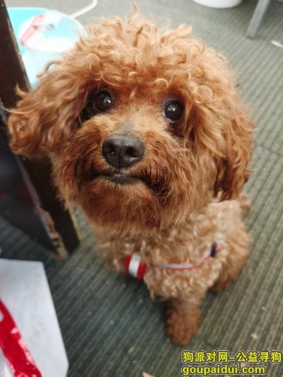 辽阳寻狗启示,棕色泰迪,急寻,有重谢,它是一只非常可爱的宠物狗狗,希望它早日回家,不要变成流浪狗。