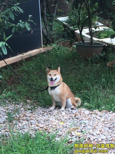 昆明寻狗启示,狗主人希望你能看见此题.实在养不起了.联系方式QQ965107271,它是一只非常可爱的宠物狗狗,希望它早日回家,不要变成流浪狗。