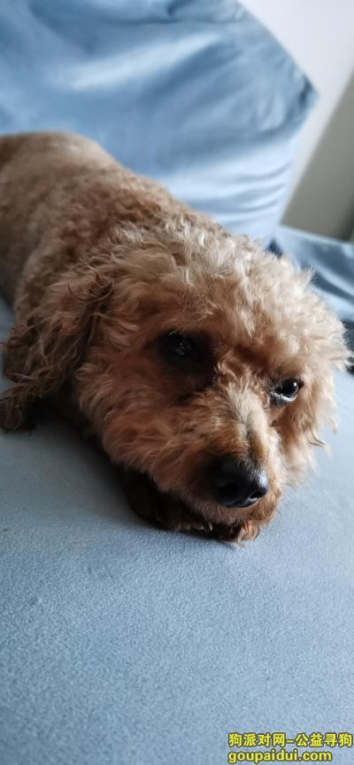 长沙找狗主人,双拥路附近捡到泰迪一枚,它是一只非常可爱的宠物狗狗,希望它早日回家,不要变成流浪狗。