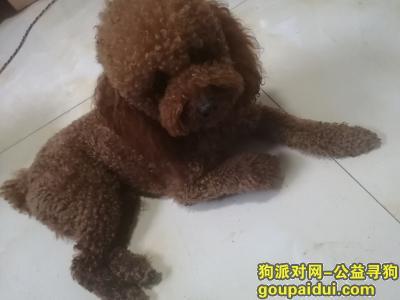 聊城丢狗,聊城寻泰迪狗,开发区老程庄附近跑丢,它是一只非常可爱的宠物狗狗,希望它早日回家,不要变成流浪狗。