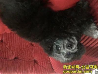 芜湖寻狗启示,寻找名叫奥利奥的5个月大的灰色母泰迪,它是一只非常可爱的宠物狗狗,希望它早日回家,不要变成流浪狗。